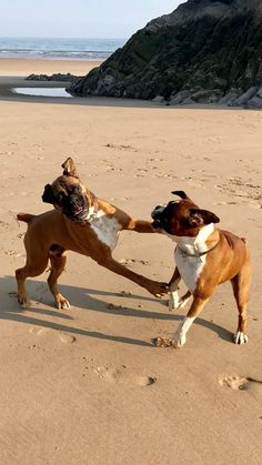 Henry & Ike two nutty puppies hamming it up as they pretend to box one another larking about on the beach!