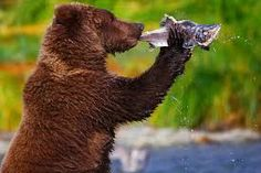Image result for photograph bear fishing for salmon