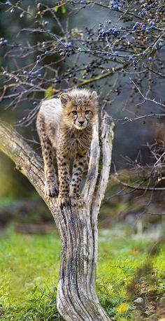 Cheetah cub in a tree