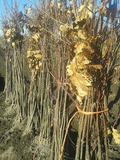 Árbol de roble americano o quercus rubra a raíz desnuda