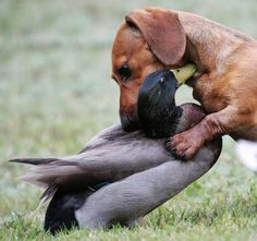 This dachshund's name is Ziggy. The duck is Quacker and there's another one called Quack. They are all fast friends. They play and romp together, eat together and are fast friends. They genuinely love each other.