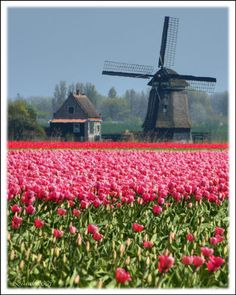 Holland, windmills & tulips...one of the great sights you can see on an Avalon River Cruise 8 days starting at $2,329.00 per person! Toll Free 855.297.9801