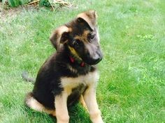 Mia has been missing since 8/13/2015  Pet NameMia BreedGerman Shepherd Age3 months GenderFemale ColoringBlack & Red Microchip900118000308554 Rabies TagN/A Reference #1258732