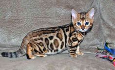 bengal cat for sale - Google Search