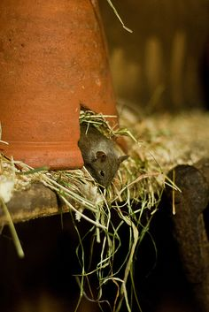 House Mouse at the British Wildlife Centre by Sophie L. Miller, via Flickr