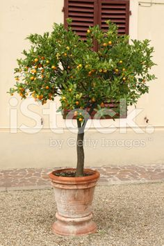 stock-photo-3492014-potted-mini-orange-tree-tuscany-italy.jpg (370×556)