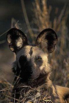 Africa, Botswana, Chobe National Park, African Wild Dog (Lycaon pictus) lies in savanna grass in Savuti Marsh at dawn