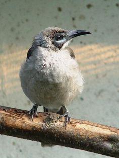 Brasss Friarbird (Philemon brassi)