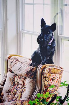 "Exactly like my little Pearl-Scottie-girl... on top of the furniture !  "" I must get the best vantage point. """