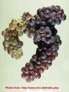 Kadarka grape