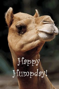Happy Hump Day days days of the week wednesday camel hump day weekdays wednesday gif