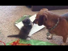 Munchkin Kitten Compilation - Neatorama