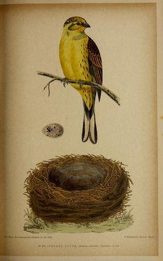 v.3:pt.2 - Musée ornithologique illustré : - Biodiversity Heritage Library