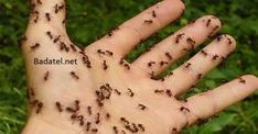 Homemade Natural Ant Repellent Ingredients 30 drops clove essential oil 30 drops peppermint essential oil 4 oz water Directions Mix essential oils and water in a spray bottle. Spray anywhere you see ants. Home Remedies, Natural Remedies, Ant Remedies, Ant Problem, Ants In House, Get Rid Of Ants, Rid Ants, Potager Bio, Best Pest Control