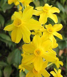 Narcissus jonquilla | Narcyz żonkil: zdjęcie | Jonquil daffodil