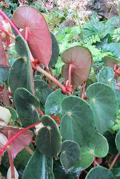 Begonia epipsila leaves