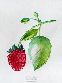 the raspberry by dushky | #watercolor #illustration #raspberry #plantproject #berries #nature #tattoodesign