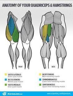 Quadriceps and Hamstrings