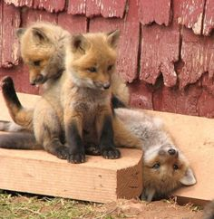 Fox kits (I just want to snuggle them - is that so wrong???) and love the one that is upside down!