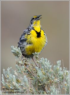 Western-Meadowlark and sagebrush...smells & sounds from childhood