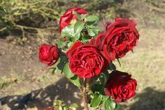Paul Roos - Ludwigs Roses | Paul Roos is named for the Paul Roos School in Stellenbosch. A typical boy's rose; busy sprouting and flowering all the time bearing the unfading bright red blooms all season long. The dense bush grows to between hip and chest height; is healthy and the flowers last well when picked.