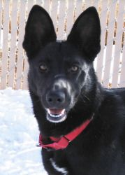 Aden is an adoptable Shepherd Dog in Taos, NM.  ...