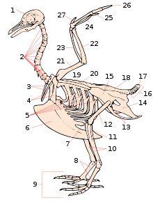chicken anatomy chicken bones chickens pinterest. Black Bedroom Furniture Sets. Home Design Ideas