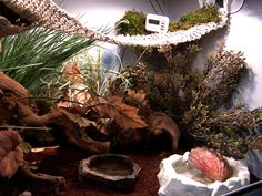 Originally written by Vanessa Pike-Russell Behaviour in the Wild Land hermit crabs are territorial animals, and as such they will often act aggressively towards one another to establish a 'pecking' order among their colony. Sometimes this can be in the form of 'feeler' or antennae fights, others in violent pushing or flicking fellow tank mates … … Continue reading →