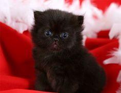 Black Persian Kitten                                                                                                                                                                                 More