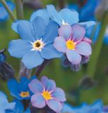 On this day, forget-me-not
