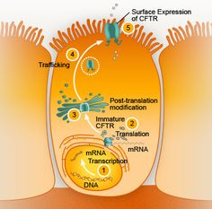 excellent website explaining the entire CFTR protein creation