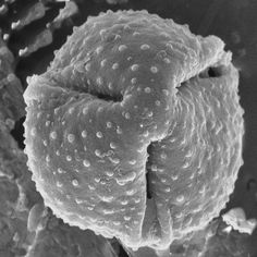 This fossilized pollen grain found in late Cretaceous sediments in Antarctica is likely related to the Asteraceae family, which includes daisies and sunflowers. Image of the Day: Ancient Daisy | The Scientist Magazine®