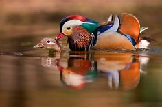 Privacy violated by Stefano Ronchi on Dumb Animals, Mandarin Duck, Bird Feathers, This Is Us, Birds, Retro, Photography, Peacock, Reflection