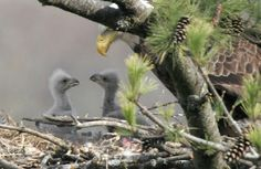 Incredible Pictures: Baby Eagles
