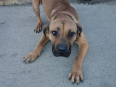 SAFE --- URGENT - Brooklyn Center    DIESEL - A0993845   MALE, BROWN, CANE CORSO / BOERBOEL, 11 mos  OWNER SUR - EVALUATE, NO HOLD Reason NO TIME   Intake condition NONE Intake Date 03/13/2014, From NY 11207, DueOut Date 03/13/2014 : https://www.facebook.com/photo.php?fbid=772187212794160&set=a.617941078218775.1073741869.152876678058553&type=3&theater