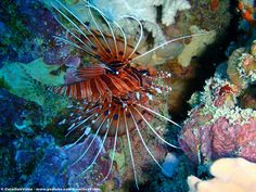 Lionfish tucked into the Great Barrier Reef near Port Douglas