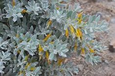 Image result for Eremophila glabra 'Kalbarri Carpet'