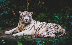 Lataa kuva Valkoinen tiikeri, predator, harvinaisia eläimiä, Aasiassa, metsä, wildlife, tiikerit