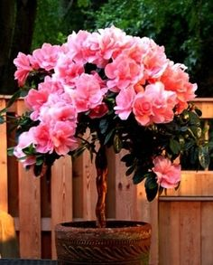How To Care For A Braided Azalea Tree Azaleas