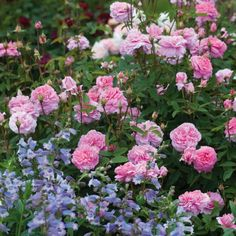 The Mayflower - Plan ahead and order now for beautiful summer blooms