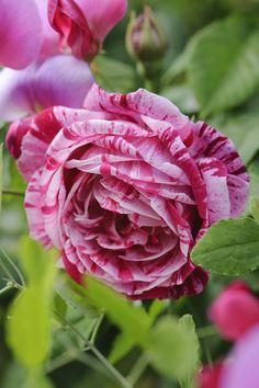Top 10 beautiful flowers-Rose-Rose Flower-Beautiful Roses-Beautiful Rose Flowers PART Beautiful Rose Flowers, Love Rose, All Flowers, Exotic Flowers, Amazing Flowers, Beautiful Gardens, Orchid Flowers, Pretty Roses, Ronsard Rose