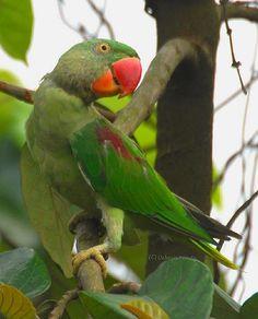 Immature male Alexandrine Parakeet at Jalpaiguri Town, West Bengal_ India