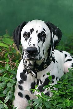 Doggies, Dogs And Puppies, Stop Animal Testing, 101 Dalmatians, Hawks, Eagles, Poodle, Cute Dogs, Cute Pictures