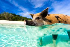 Famous swimming pig in a water at beach on Exuma Bahamas