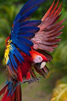 Portrait Of Scarlet Macaw Landing