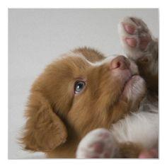 Google Image Result for http://rlv.zcache.com/toller_puppy_poster-re35309d53a32487d9f4853d0ca0ee1c7_f9mm_400.jpg