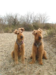 Airedale Terrier Dorothy & Coconut