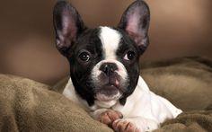 black and white french bulldog - Google Search