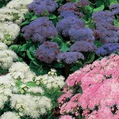 Ageratum Hawaiian Mix Flower Seeds  _ 50+ seeds  #Self-seeding Annual   # Easy to grow  # Strong robust plants # Perennial   #Zones 3-10    # Full sun / partial shade
