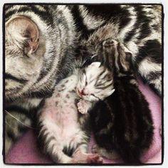 British Short Hair Salatino´s Puppy     #salatino #clubesalatino #gato #cat #cats #pet #ilovemypet #animalplanet #bestphotos #ilovemypet #bsh #british #britishshorthair #lovecats #ilovemycat